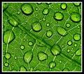 Dew On Bean Leaf