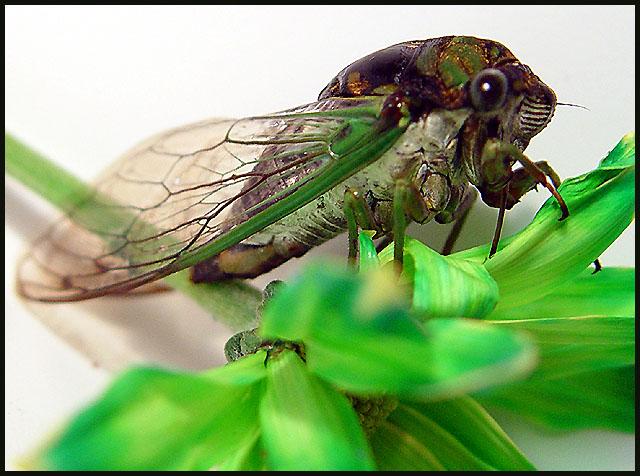 Cicada...Seventeen-Year Locust