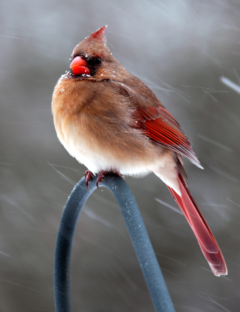 Cardinal Bracing Against The Snow Storm