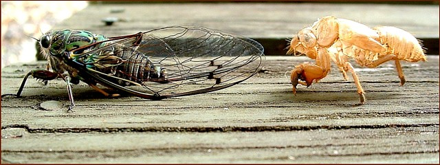 Cicada Letting go of old shell/To new life