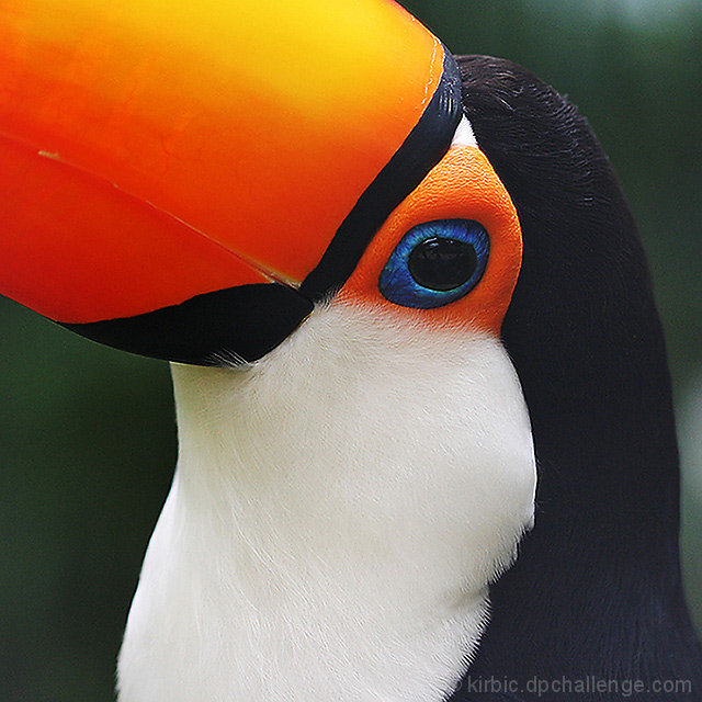 Toucan Candid