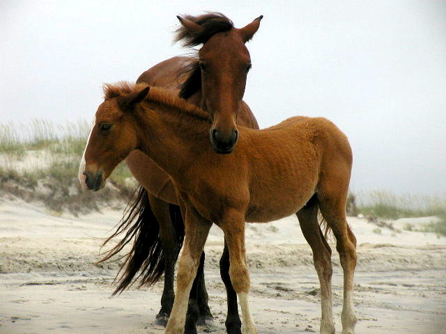 Wild Ponies of Corolla
