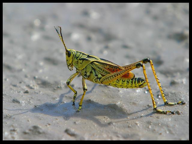 Schistocerca Americana  (Large Florida Grasshopper)