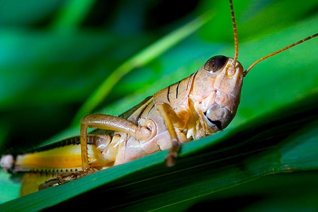 Father Grasshopper