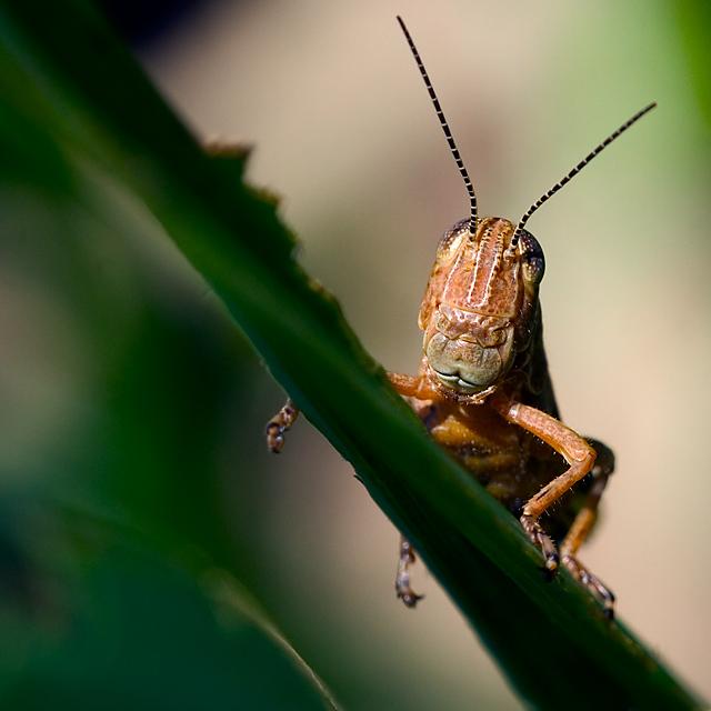 Macrohopper