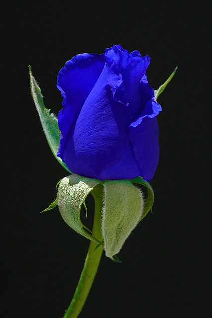 The blue moon rose by cathysapp dpchallenge for Blue long stem roses