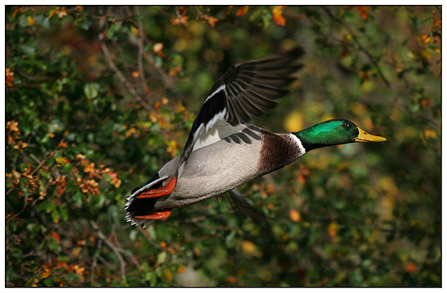 Anas platyrhynchos - Mallard (Wild Duck)