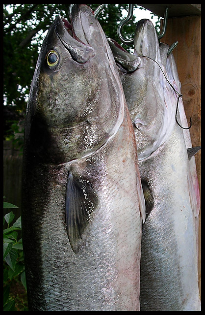 Pomatomus saltatrix: the bluefish
