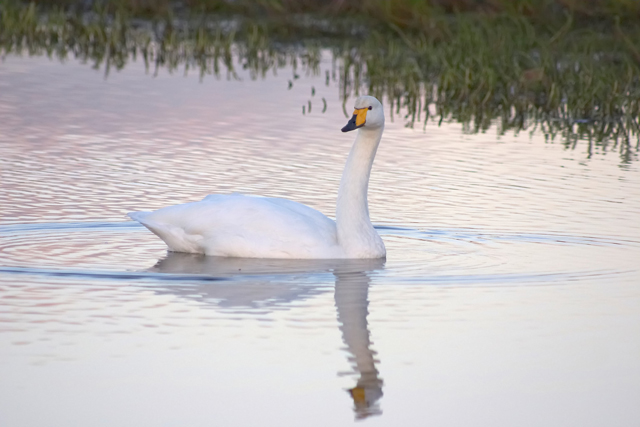 Life as a Swan
