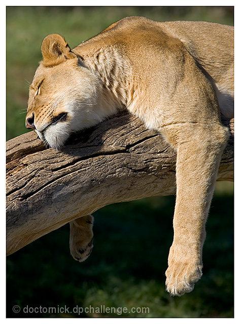 The Lion Sleepeth...