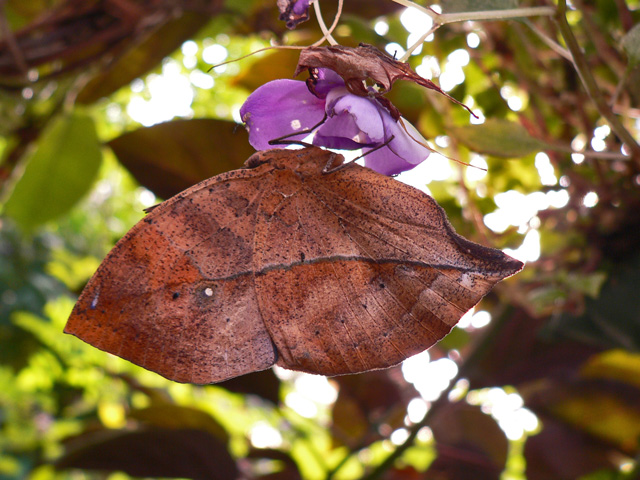Indian Leaf Butterfly ((Beautiful Blue Florescent Colors