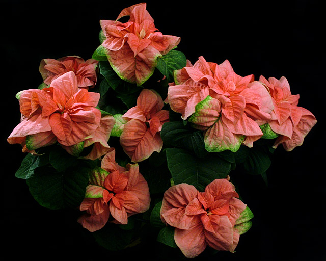 winter rose plant