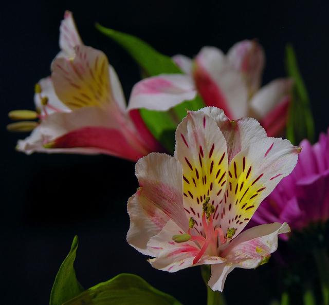 Alstromeria: Peruvian lily