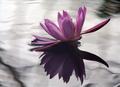 """""""Waterlilies""""  (Rachel S. - 10/20/03)"""