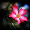 Pink sonata