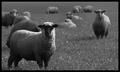 Tribute to Konador's Sheep