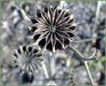 Abutilon Pinwheels