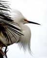 White on White: Egret Displays