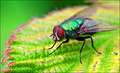 Green-Fly