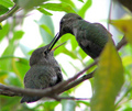 Baby Hummer's feeding time
