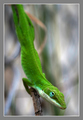 Lizard on Chainlink