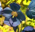 Meconopsis - Blue poppy