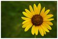 My Little Sunflower