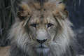 Lion eyes...