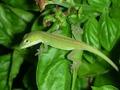 Leafin' Lizard