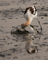 Avocet searches for food