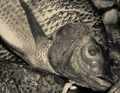 the fish eye