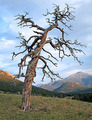Old Twisted Pine