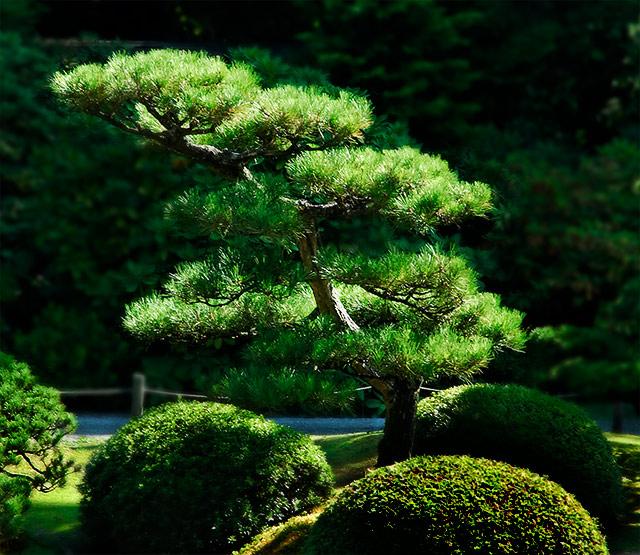 Zen garden pine by dr confuser dpchallenge for Zen garden trees