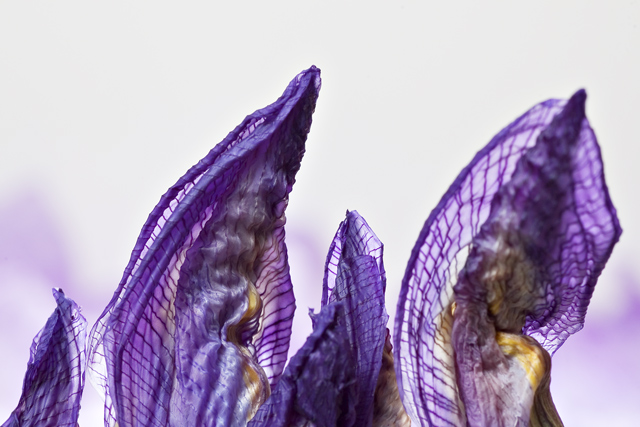 Purple  Flame ... Purple Flame