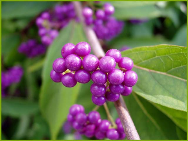 Natural Purple