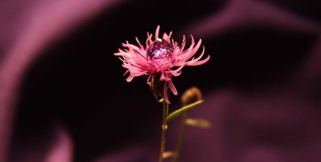 Blooming Amethyst