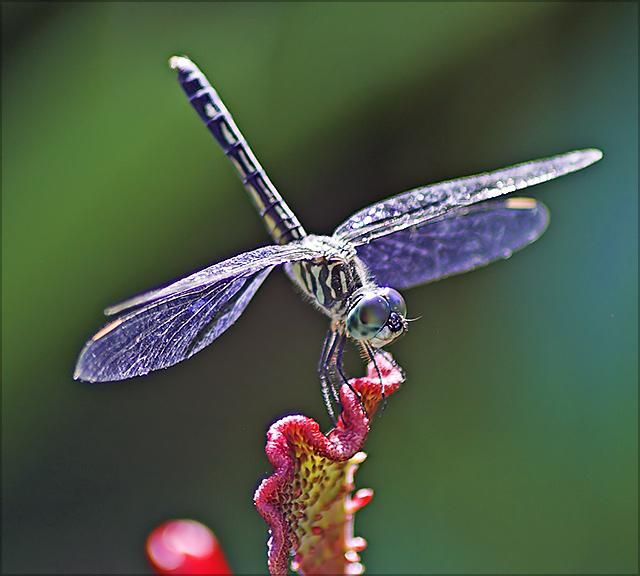 Purple Gossamer Wings