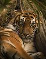 LA Tiger