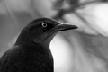 Quoth the grackle...