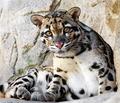 Leopard #37
