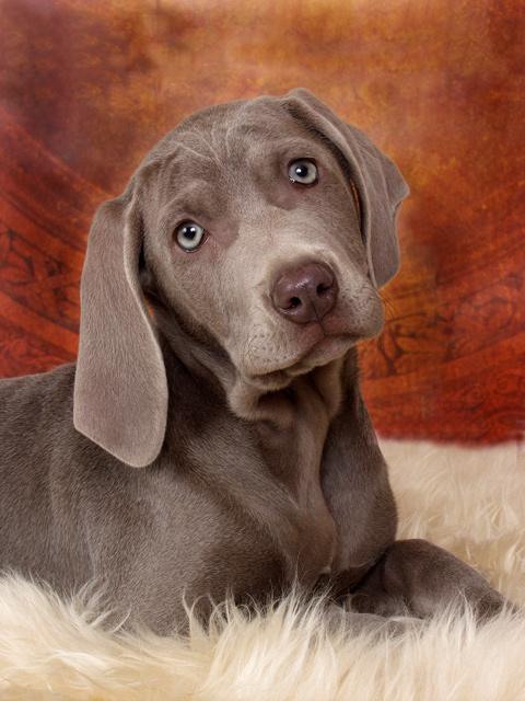 Weimaraner Puppy by bryantbus - DPChallenge