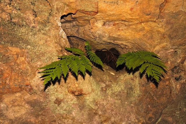 Fern in Cave