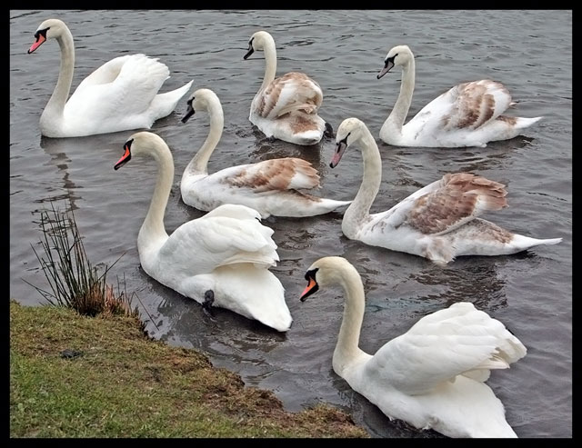 Seven Swans a Swimming by judojoe - DPChallenge