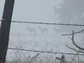 Barb Wire Elk