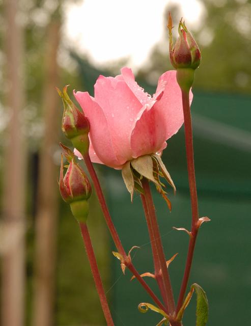 Rose after Rain.