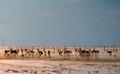 Antelope at Sunrise