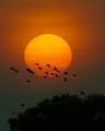 Whistling Ducks at Dawn