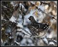 .:Spruce Grouse:.