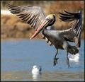 Pelican coming in for a landing...