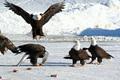 Eagle Ice Capades